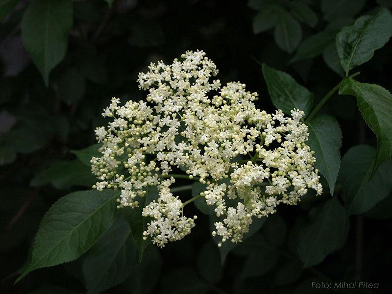 Floare de soc FOTO:Dan Mihai Pitea/Wikimedia Commons
