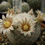 cactusi-levai-03