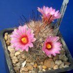 cactusi-levai