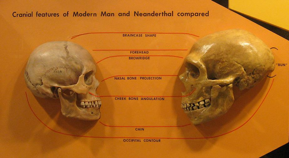 Cranii de om modern și de om de Neanderthal Foto: en.wikipedia.org