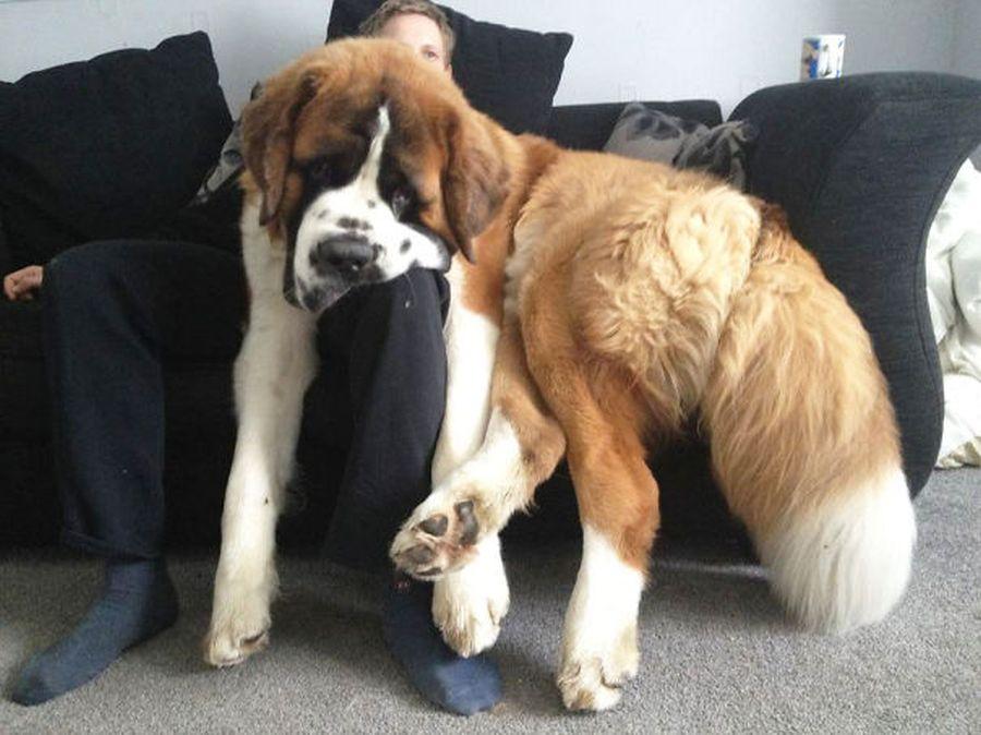 câini uriași