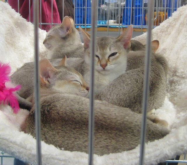 Pisici din rasa Singapura Foto: Wikipedia