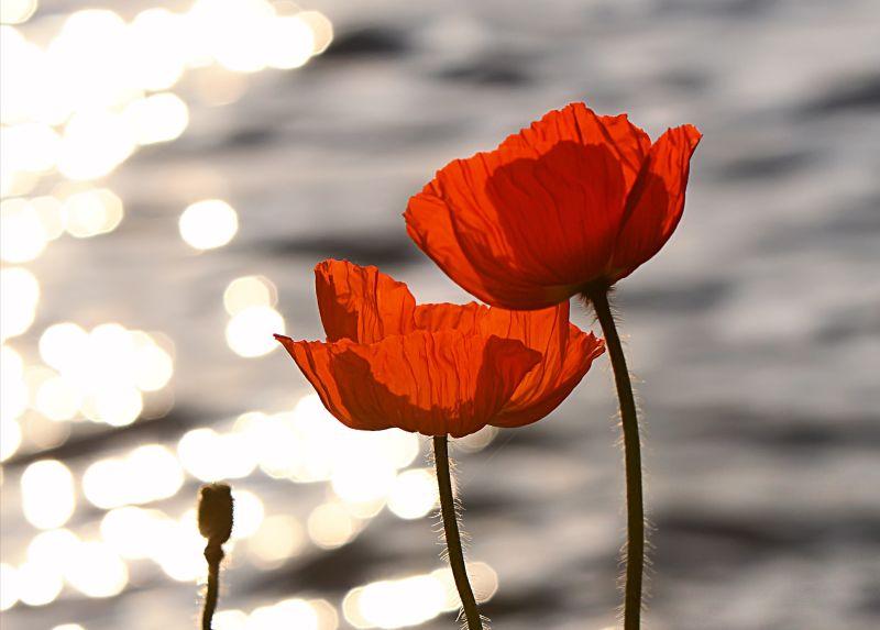 flori de maci