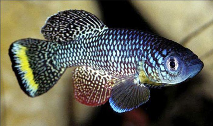peștele killi de mangrove
