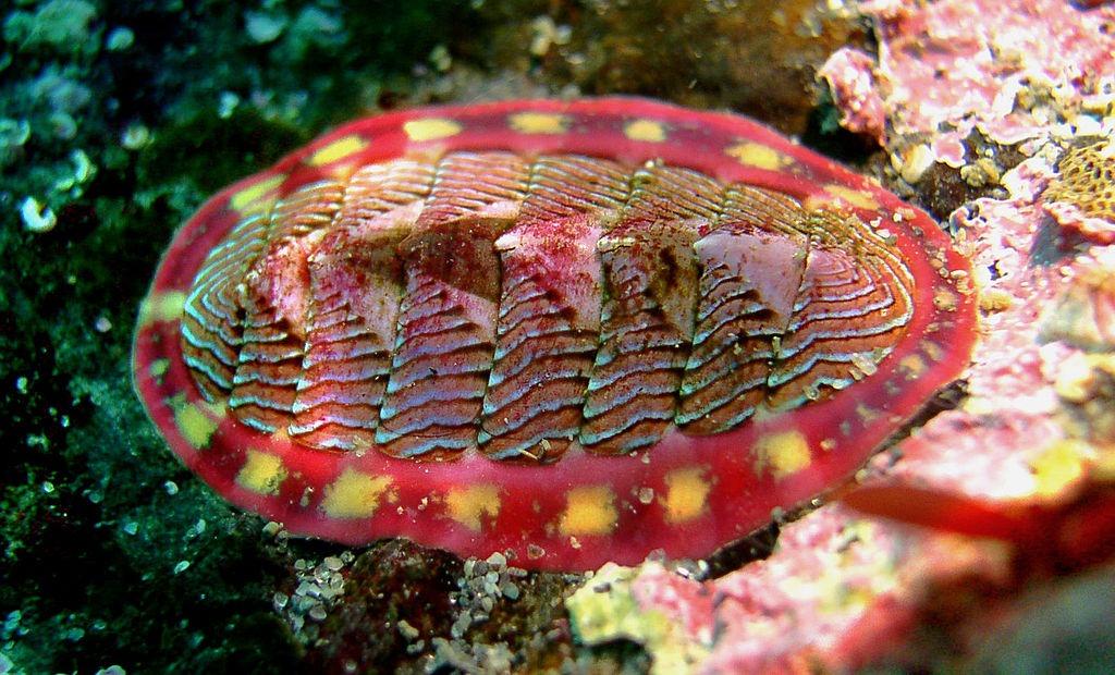 moluscă