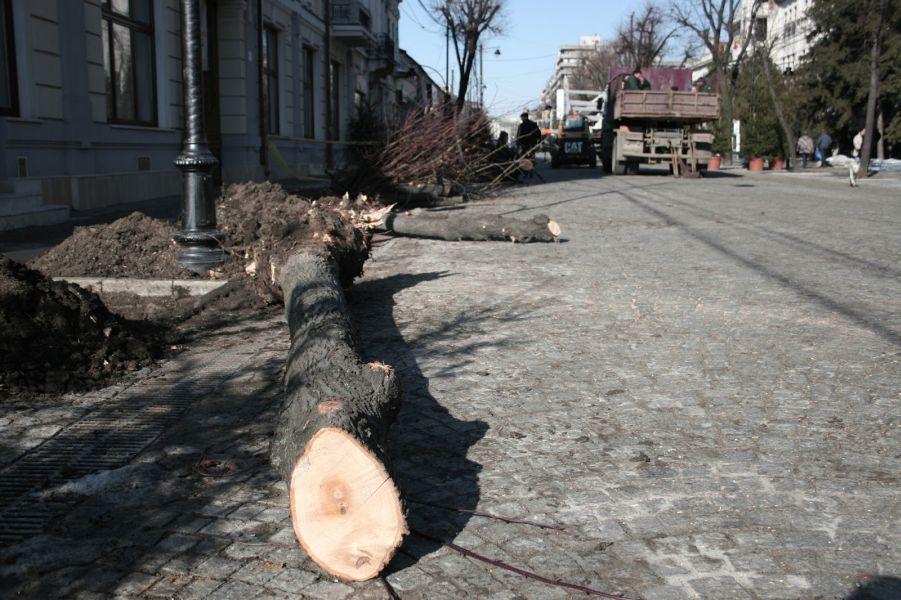 Campania de tăiere a teilor de pe Bulevardul Ștefan cel Mare din Iași, arbori considerați simbol al orașului, a fost aspru criticată
