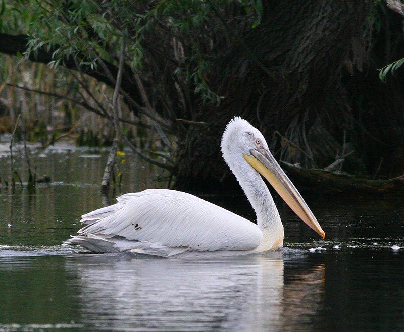 pelicanul cret sacalin