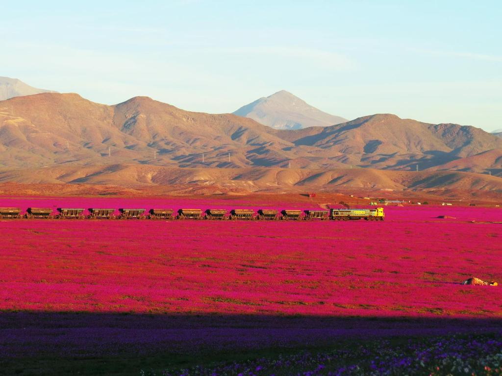 A înflorit deșertul Atacama (Tomás Cuadra Ordenes - Twitter)