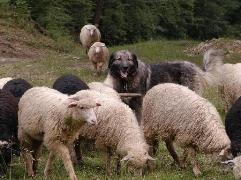 Parlamentarii au decis să limiteze numărul de câini pe care îi poate avea un cioban (Wikimedia Commons)