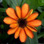 cârciumăreasă prima floare crescută în spațiu