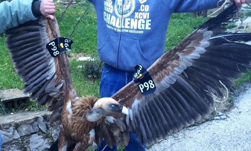 "Vulturul ""spion"" prins de libanezi (Facebook)"