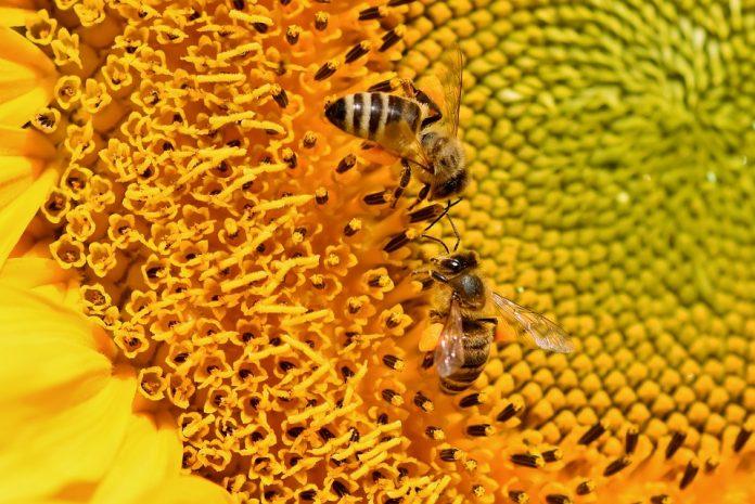 miere albine floarea soarelui