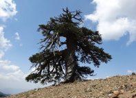 cel mai bătrân copac din Europa
