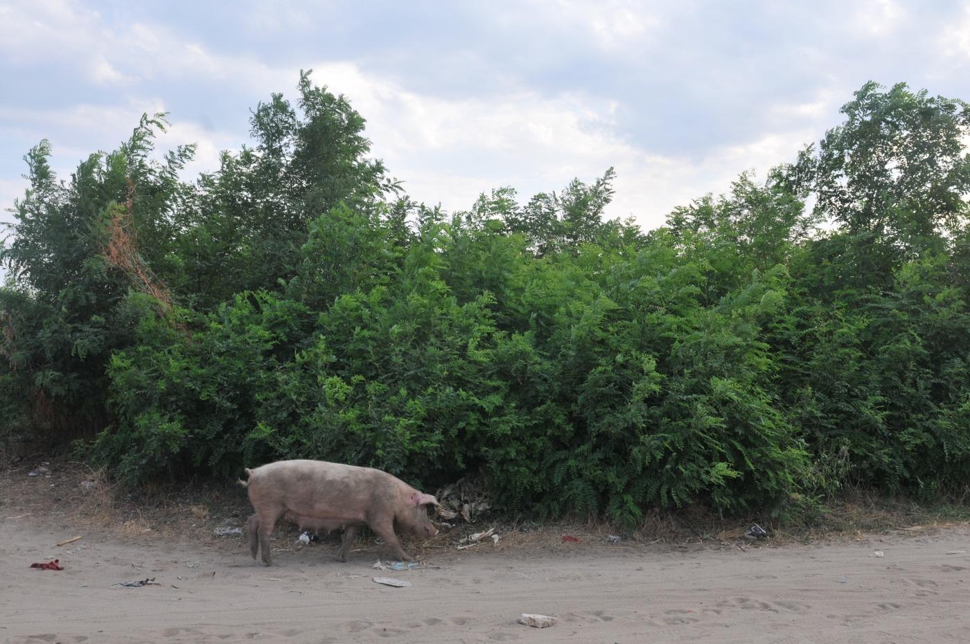 zefir ocolna porc