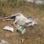Din fericire, această iapă a fost găsită când încă mai era în viață. Veterinarii au readus-o la viață FOTO: Telegrafonline.ro