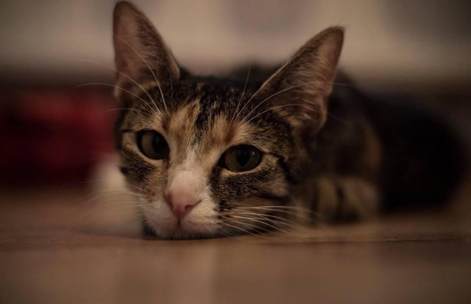 Pentru a evita să vă îmbolnăviți, asigurați-vă că pisica dumneavoastră nu are pureci. Foto: Călin Cătălin