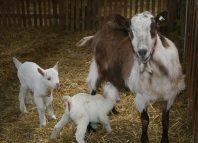 Așa arată caprele care sunt crescute la Găgești (Facebook)
