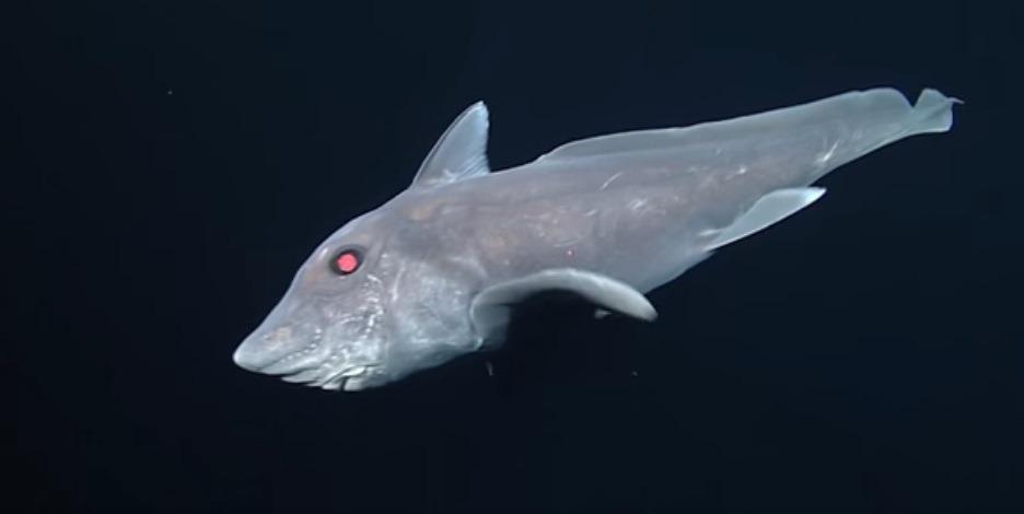 Rechinul-fantomă este una dintre cele mai misterioase specii acvatice (Monterey Bay Aquarium Research Institute)