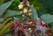 Puteți să treceți pe lista de idei de afaceri 2017 și o plantație de ricin FOTO: Alvesgaspar /Wikimedia Commons