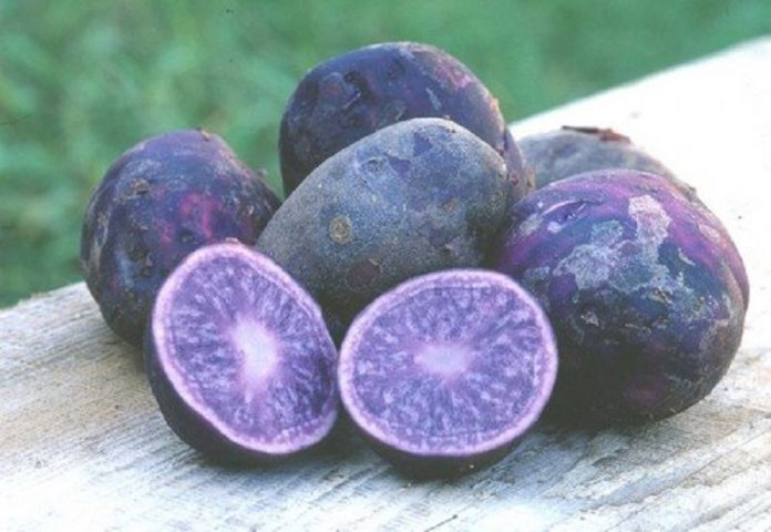 Cartofii mov se pot dovedi foarte profitabili pentru fermele mici (Foto: Wikimedia Commons)