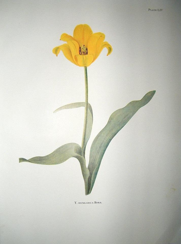 laleaua galbenă