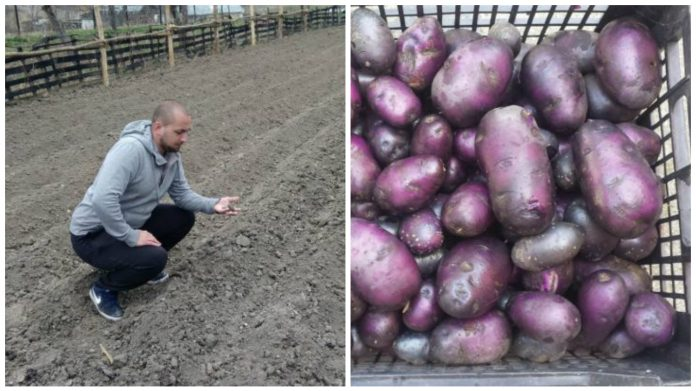 ilie mădălin cartofi mov