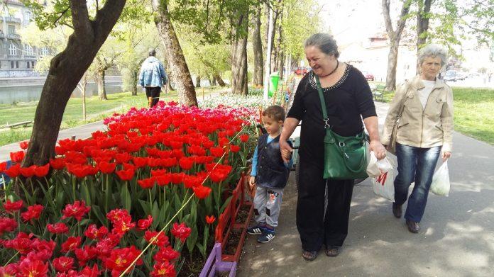 Așa arată aleea cu lalele plantată de Marius Sabău, florarul din Oradea (Foto: bihon.ro)