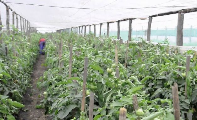 matca solarii legume