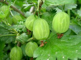 Idei de afaceri. Prima investiție într-o plantație de agriș este de 7.000 de euro FOTO: W.J.Pilsak /Wikimedia Commons