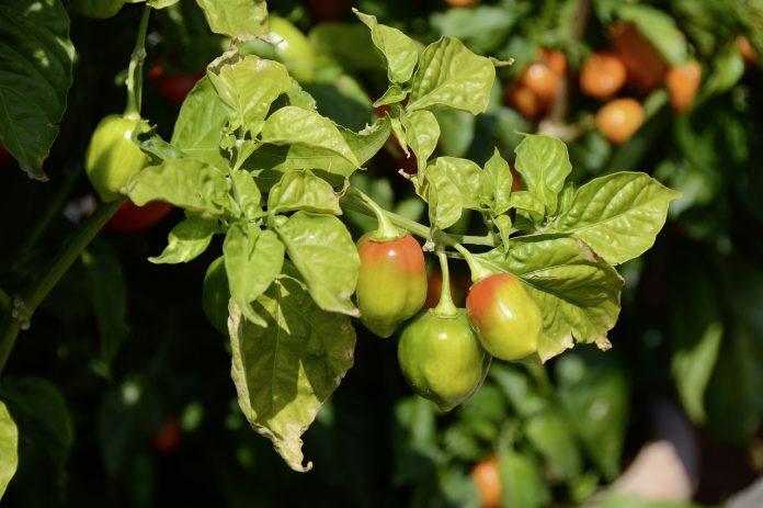 O plantație de ardei iuți o puteți trece pe lista de idei de afaceri 2018 FOTO: Onkel Ramirez/Pixabay.com