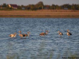 FOTO: Florin Floreanu via Societatea Ornitologica Romana
