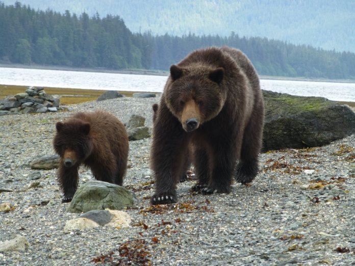 România are prea mulți urși. Foto: USDA Forest Service