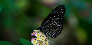 Numărul fluturilor a scăzut dramatic în ultimii ani. Foto: rabbit_akra / Flickr