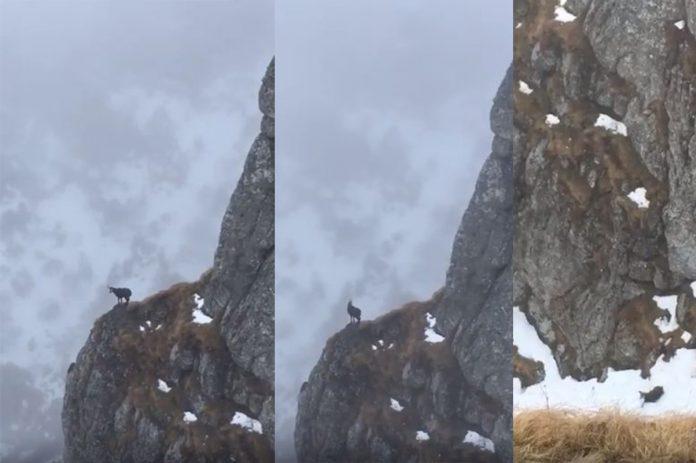 Capra neagră în România. Imagini surprinse în Parcul Național Bucegi