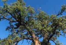 Stejarul din Cajvana ar fi fost plantat după o invazie a tătarilor