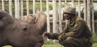 Sudan, ultimul rinocer alb nordic. Foto: Ol Pejeta / Twitter