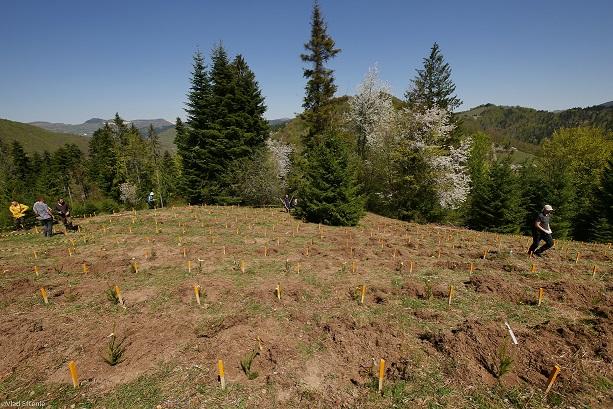 brazi plantați bucium bergenbier