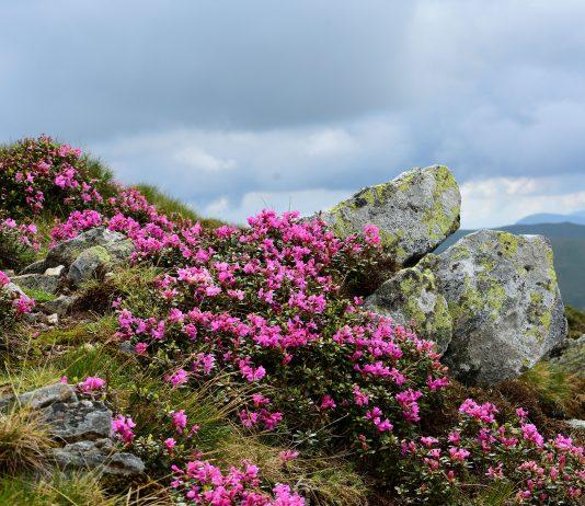 Bujorul de munte varful Gruisoru