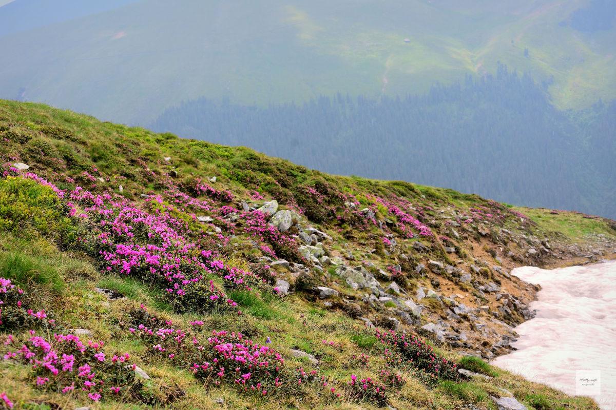 Bujorul de munte pe vârful Gruișoru