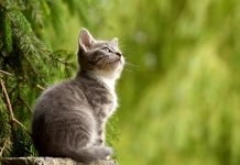 pisică pisoi