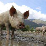 porc-pesta-porcina