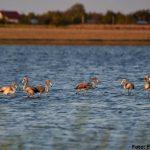 flamingo județul ialomița