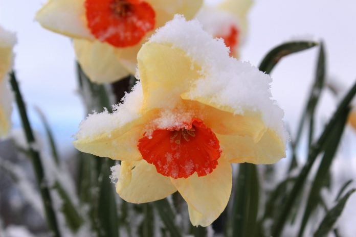 flori narcise vremea pe 15 zile