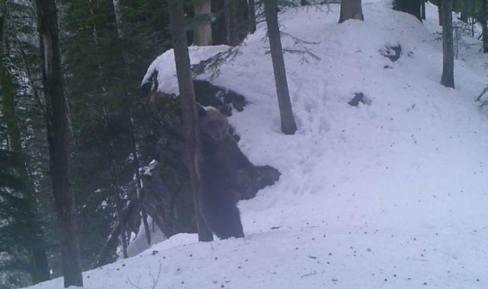 urs se scarpină arbore