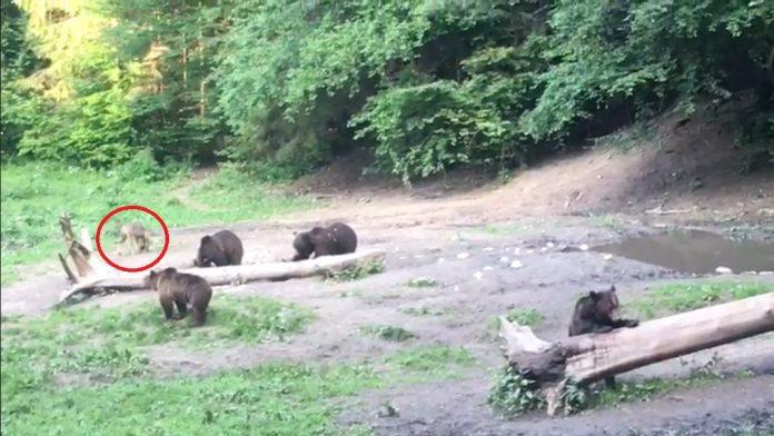 urși bruni lup cenușiu brașov