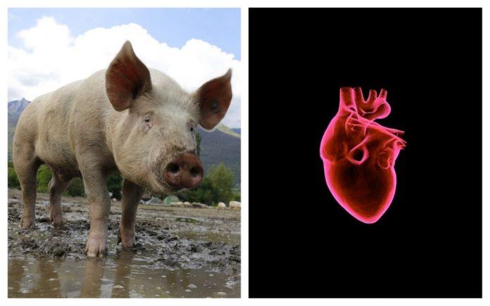 inimă transplant porc om