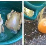 găini vopsite galben