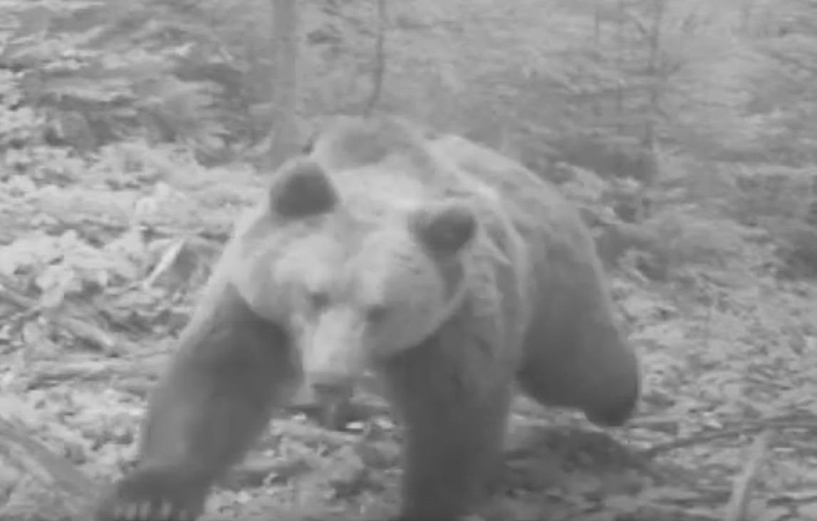 urs ursoaică