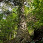 arborele-european-al-anului-2020-paznicul-cibinului-00