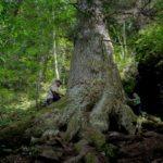 arborele-european-al-anului-2020-paznicul-cibinului